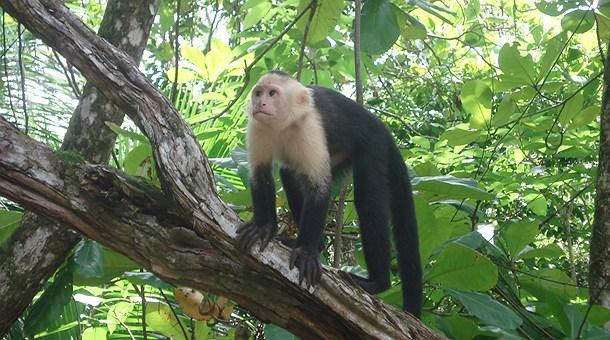mono-capuchino-acercandose-manuel-antonio