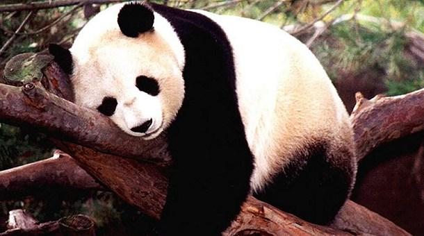 oso-panda-