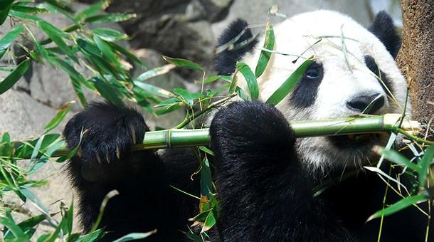 panda-comiendo-bambu