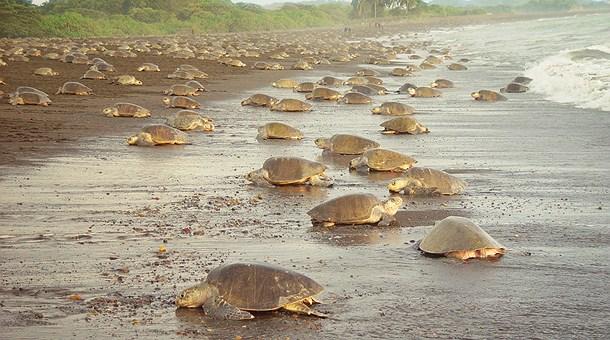 tortugas-enetortuguero