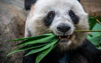 Visitar los osos panda